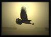 Nokturnal Raven