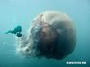 A Giant Jellyfish