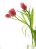 Tulips for u