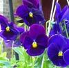 Purple Pansies!