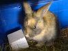 Rabbit (Peanut)