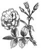 A Rose fm: Me 2: U..that I drew
